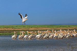 (vignette) Vignette Roumanie Delta Danube pelican  fo
